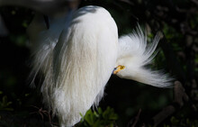 Snowy White Egret Preens Feath...