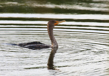 Swimming Young Cormorant