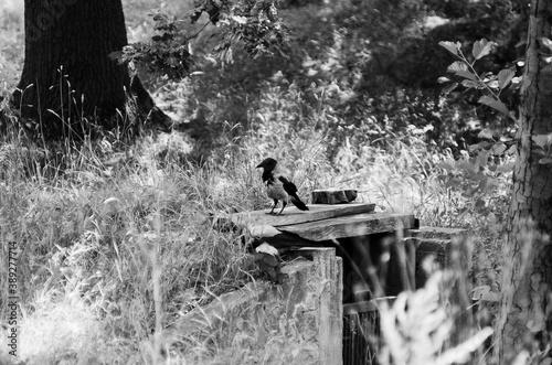 Fototapeta Czaro-białe ujęcia kruka spacerującego w parku obraz