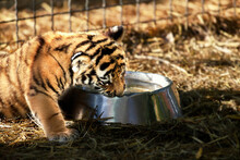 Tiger Cubs Playing, Close-up P...