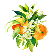 Beautiful Composition Made Of Hand Drawn Watercolour Citrus Fruits, Leaves And Flowers. Illustration Of Fruits And Flowers In Bouquet For Greeting Cards, Wedding Invitations And Other Designs.