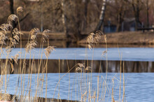 Partially Frozen Pond In Winter With Common Reeds