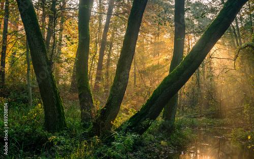 Obraz świt w lesie  jesienne drzewa mgła i światło - fototapety do salonu