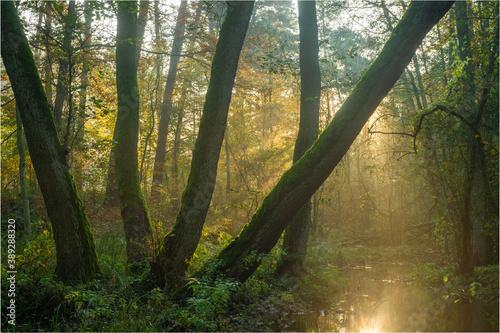 Obraz światło w jesiennym lesie - fototapety do salonu