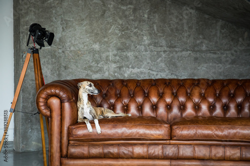 Photo Portrait of greyhound pet dog in beautiful Royal interior.