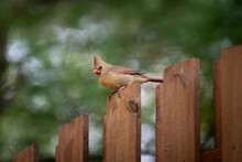 Female Northern Cardinal Perched On A Fence.