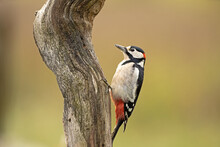 Woodpecker On The Tree Trunk. Spotted Woodpecker Has A Rest In The Forest. Wildlife In Europe.