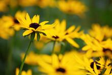 Sullivantii 'Goldsturm' , Beautiful Yellow Coneflowers, Rudbeckia, A Plant Genus In The Asteraceae Or Composite Family.
