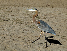 Immature Great Blue Heron Walking In The Sand