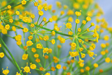 Macro Of Dill Flower Anther Wi...