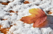 Autumn Leaves On The Snow