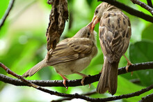 Sparrows Feeding Her Baby In A...