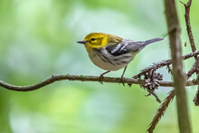 Black-throated Green Warbler, ...