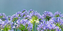Purple-blue Flowers Of Agapanthus ( Lily Of The Nile, African Lily  ),  Genus Of Herbaceous Perennials That Bloom In Summer. Horizontal Seamless Floral Border, Space For Text
