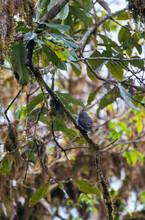 Collared Owlet, Glaucidium Brodiei