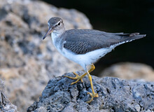 Spotted Sandpiper  On A Rock