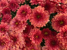 Pink Mums In Full Bloom