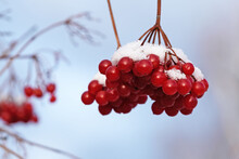 Clusters Of Red Viburnum Under The First Snow In The Morning Sun.