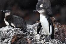 Galapagos Penguin, Spheniscus ...