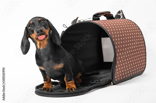 Canvas Print Adorable dachshund puppy sits at entrance to opened pet carrier with rigid frame, and playfully shows tongue, white background, copy space
