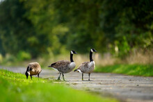 Three Geese At The Roadside