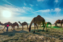 Landscape With Group Of Camels...