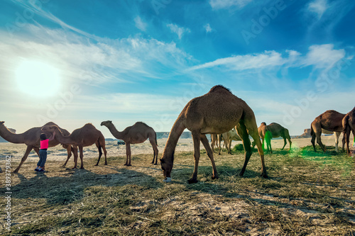 Landscape with group of camels in Al-Sarar desert, SAUDI ARABIA. Fotobehang