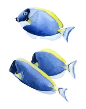 A Group Of Three Blue Tropical Fishes Hand Drawn In Watercolor Isolated On A White Background. Watercolor Illustration. Watercolor Fish. Doris Fish