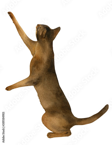 Fototapeta An abyssinian cat standing on its hind legs hand drawn in watercolor isolated on a white background