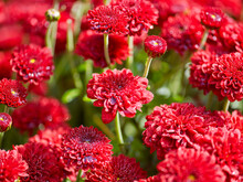 Red Flowers Background With Sh...