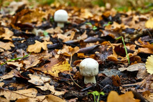 Two Small Mushrooms Growing In The Forest Among Fallen Yellow Leaves.