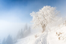 Fog In The Winter Forest. A Pa...
