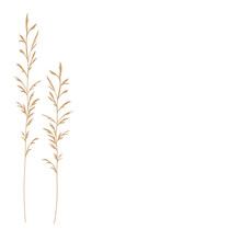 Pampas Grass Vector Stock Illustration . Cream Branch Of Dry Grass. Panicle Cortaderia Selloana South America, Feather Flower Head Plumes Step. Golden Color. Template For A Wedding Card.