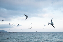 Ivory Gulls Fly Over The Sea C...