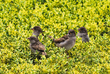 Family Of Sparrows Sits On Bushes Of Boxwood. Small Passerine Birds