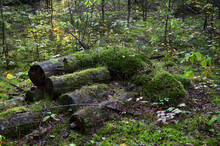 Old Rotten Logs Covered With M...