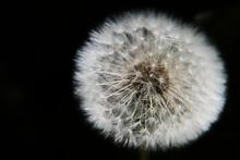 Close Up Of A Dandelion Seedhead