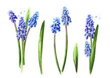 Spring Muscari Flowers Set. Ha...