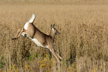 White Tailed Deer Running Through Agricultural Fields