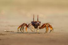 Fiddler Crab On Sand At Sea Sh...