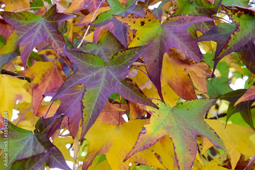 Colored Leafs on the Tree By Autumn Ready to Fall on the Grass