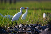 Cattle Egret Are Looking For F...