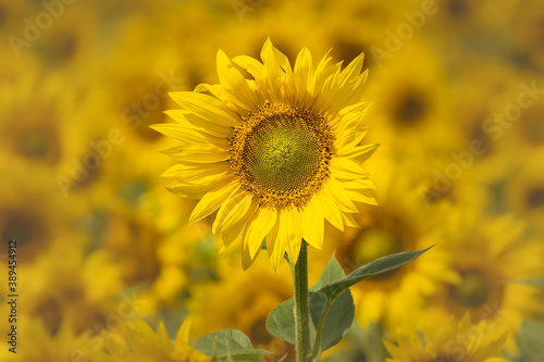Fototapety, obrazy: Close-Up Of sunflowers at the field in summer.