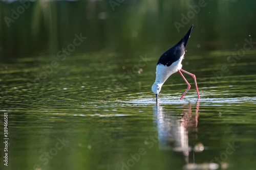 Fotografie, Tablou Black-winged stilt or Himantopus himantopus wades in marshland