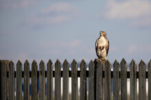 Red Tailed Hawk Perched On A F...
