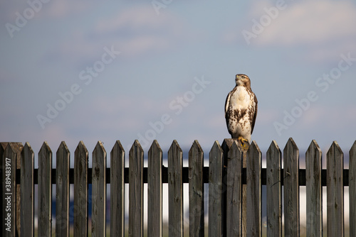 Red tailed hawk perched on a fence over looking Dorval airport Quebec, Canada Fototapete