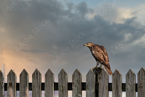 Fotografia Red tailed hawk perched on a fence over looking Dorval airport Quebec, Canada
