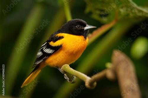 Fototapeta Baltimore Oriole - Icterus galbula is a small icterid blackbird common in eastern North America as a migratory breeding bird. Orange, yellow and black color bird obraz