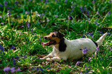 Jack Russel Dog Lying In A Bluebell Wood.