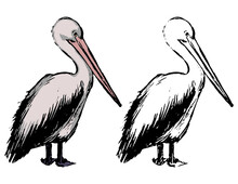Drawing Of Standing Pelican. Realistic Sketch Of Tropical Bird. Hand Drawn Vector Illustration In Vintage, Engraving Style. Set Of Contour And Color Element Isolated On White For Design, Decor, Print.